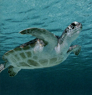 Sea turtles in search of a beach